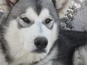 husky-hotelparamascotas