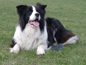 perro-border-collie